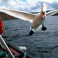 Swan following boat on Loch Garry