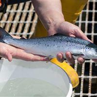 Salmon grower at Laga Bay, Loch Sunart
